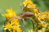Spider on Goldenrod