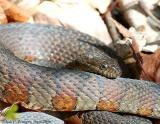 Northern Water Snake - Male