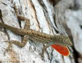 Brown Anole Displaying