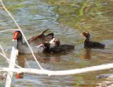 Common Moorhen & Chicks