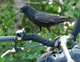 Crow on Bike