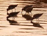 Dowitchers at Sunset