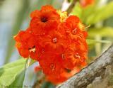 Flowering Tree on Sanibel