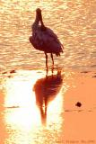 Spoonbill at Sunset - May 2006.jpg