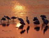 Spoonbills at Sunset