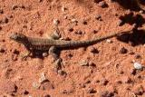 Common Lesser Earless Lizard