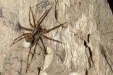 Wolf Spider sp.