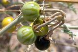 Solanum sp.