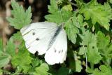 Cabbage White - Female