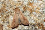 Armyworm Moth (Mythimna unipuncta)