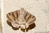 Forage Looper Moth
