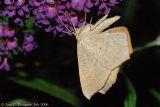Large Maple Spanworm Moth