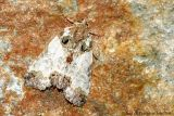 Tufted Bird-dropping Moth