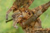 Fishing Spider - Dolomedes - Up Close