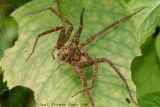 Fishing Spider - Dolomedes sp.