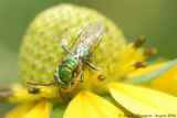 Green Metallic Bee sp.