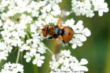 Tachinid Fly - Gymnosoma sp.