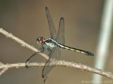 Slaty Skimmer - Female