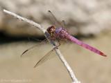 Roseate Skimmer - Male