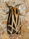 Apantesis Tiger Moth