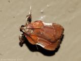 Boxwood Leaftier Moth