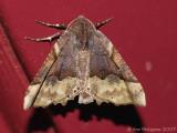 Honest Pero Moth