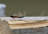 Ichneumon Fly.(wasp family))