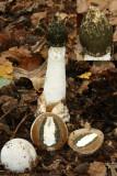 CommonStinkhorn Phallus impudicus