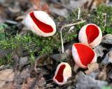 Scarlet Elfcup(Sarcoscypha austriaca )