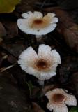 Lepiota brebbissonii ( Skullcap Dapperling.)
