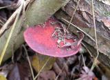 Daedaleopsis confragosa (blushing bracket)