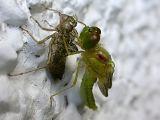 Dragonfly Newly Emerged