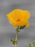 Yellow-Horned Poppy