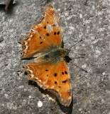 Southern Comma.