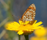 Lesser-spotted Fritillary.