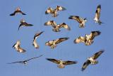 Osprey - Courtship Display - Sky Dance a.k.a. Fish-Flight