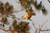 Osprey - Collecting nest materials: breaking off sticks