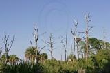 Osprey - Nests in natural landscape
