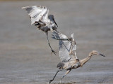 Reddish Egret - fight
