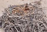 Osprey  - Nest: 1 Egg and 2 Chicks