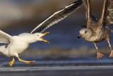 Lesser Black-backed Gull versus Herring Gull - fights, UTC Spring 2009
