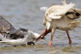 Ibises, gulls and eels - June-July, 2008