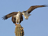 Osprey: Pair copulation attempt shortly after courtship feeding