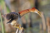 Least Bittern defensive posture