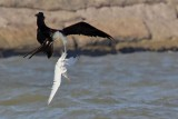 Magnificent Frigatebird grabs Royal Tern by the tail and shakes it – no respect to Your Highness