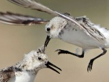 Need a good haircut badly? – Call the Sanderling PhD. Plus HAS/HANPA meeting info.