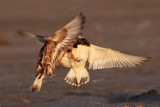 Ruddy Turnstone - 1 minute battle - complete sequence