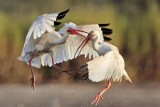 White Ibis fighting - UTC - August 2009