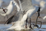 Laughing Gulls fighting for an eel
