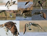 OSPREY (PANDION HALIAETUS): NOTES ON UNKNOWN AND POORLY STUDIED BEHAVIORS - 2009 paper; additional photo documentation